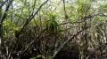 La Mangrove de Case Moustache et la Pointe d'Antigues