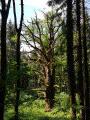 Le chêne du Morimont